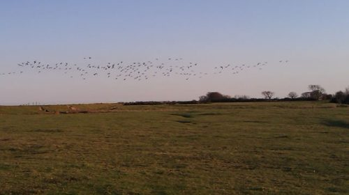 Brent geese at Northney marshes