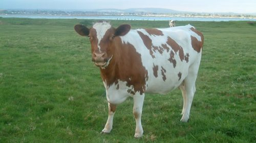 Image result for ayrshire cow